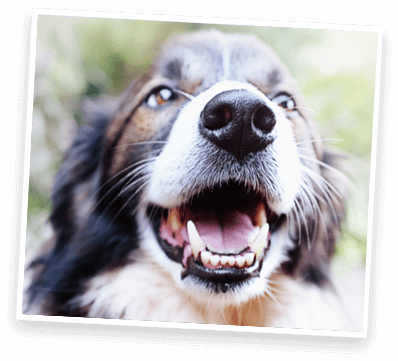 dog with mouth open looking at camera