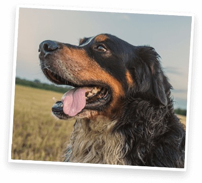 Bernese mountain dog sitting in field with tongue out